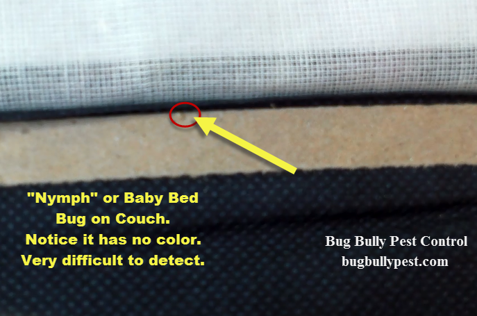 nymph bed bug bug bully pest control